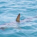 拒吃鱼翅保护鲨鱼免濒临绝种