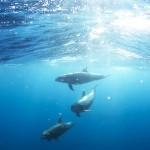 巴西抢救圭亚那白海豚