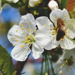 英国将禁止毒害蜜蜂之杀虫剂