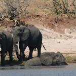 拯救西非马里的大象