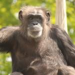 实验室黑猩猩终于退休了