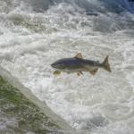 挪威鲑鱼产量锐减