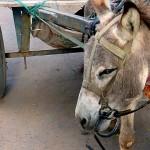 印度对驴子的惩罚-坐牢