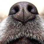 能闻到癌症味道的狗狗可以广泛用于检测癌症吗?