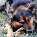 如果狗狗吃鸡骨头会发生什么?