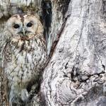 猫头鹰,从耳洞里看到眼球