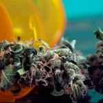 一项新的研究表明,大麻可以增强老龄鼠的记忆力