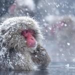 科学家终于知道为什么雪猴也喜欢泡温泉了