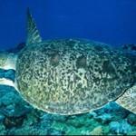 99%的大堡礁绿海龟正在孵化为雌性