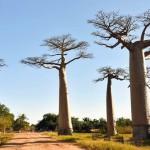 非洲最坚硬的猴面包树濒临灭绝