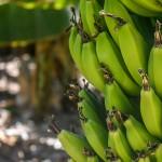 吃青皮香蕉、隔夜饭会减瘦?