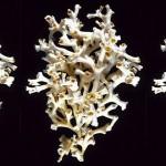 超级白珊瑚的秘密