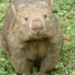 圆圆的袋熊和它方形的便便