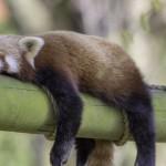 动物不睡觉能生存吗?