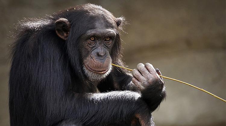 chimpanzee-3703230_960_720