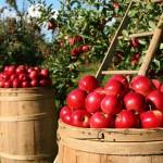 苹果整颗连皮带吃有益健康