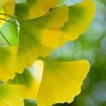 银杏叶有助于探究气候变化