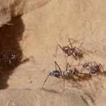 撒哈拉银蚁 : 全世界最快速蚂蚁
