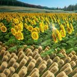 学习向日葵并提高太阳能集热器效率