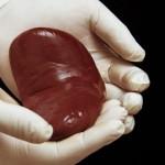 器官移植手术中,器官能在外待多久?