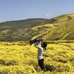 加州疯野花