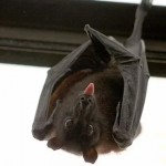 蝙蝠 传染之源