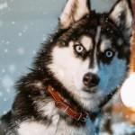 北极雪橇犬要回家