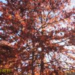 秋红的盖兹堡