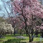 落樱缤纷的中央公园
