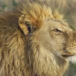 非洲狮子因人类屠杀濒临绝种