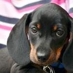 环境化学物质影响公犬生育力