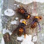 认识亚洲杀人大黄蜂
