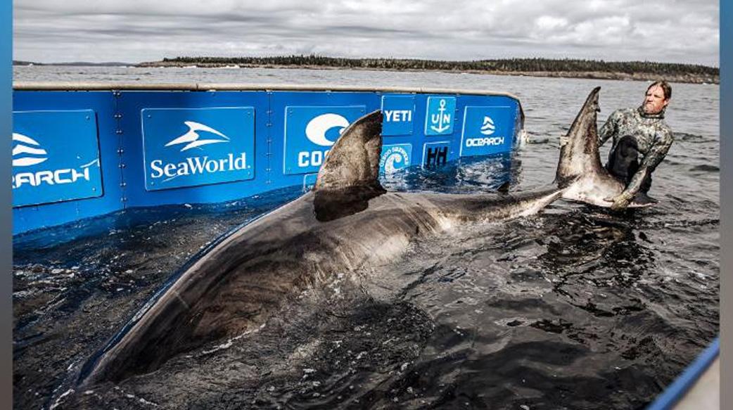 科学家发现巨大白鲨