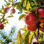 苹果的好处比你知道的还多