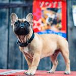 法国斗牛犬Wilbur成为全球最可爱镇长
