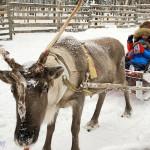芬兰罗瓦涅米:哈士奇与麋鹿的梦幻银白世界